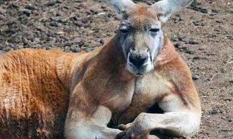 Ютуб видео, как жителю Австралии пришлось пустить в ход кулаки, чтобы отбить свою собаку у кенгуру.